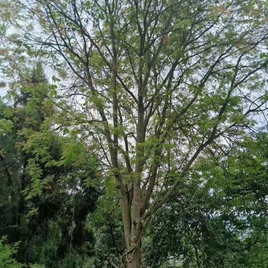 成都黃連木20公分25公分30公分價格低農戶直銷