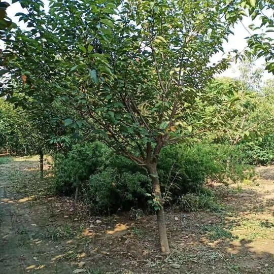 7公分日本早櫻批發報價 日本早櫻種植基地
