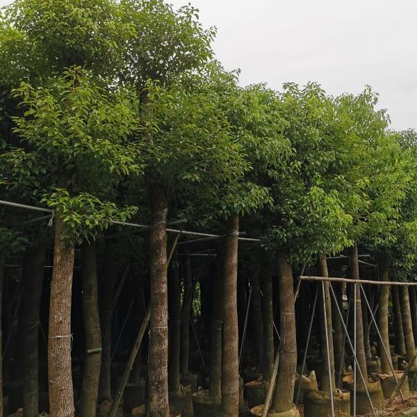 香樟基地批发 15公分香樟价格 16公分香樟多少钱一棵