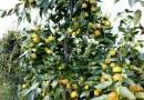1公分冬枣树苗多少钱  冬枣树苗行情报价