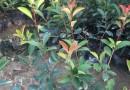 红花继木球  红花檵木球  60cmx60cm红花继木球  红继木球