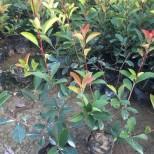 武汉红叶石楠基地 45公分红叶石楠