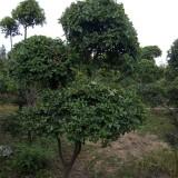 榔榆小葉榆造型  2米高榔榆小葉榆造型樹價格