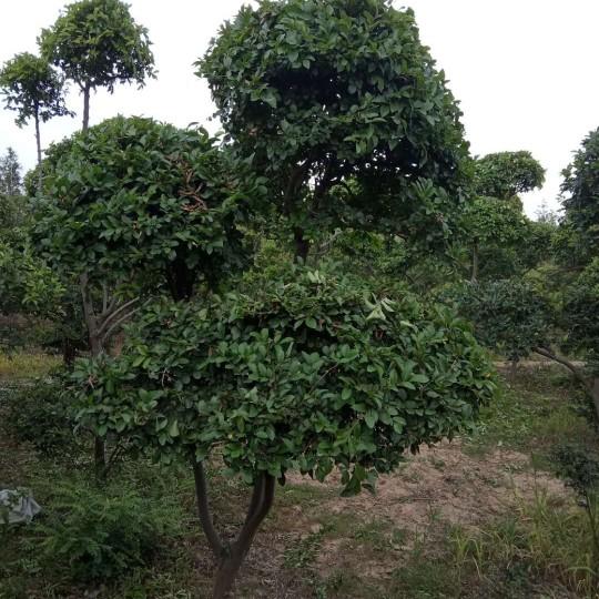 榔榆小叶榆造型  2米高榔榆小叶榆造型树价格