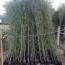 高2米刚竹批发报价 福建刚竹哪里卖