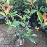 武汉汉阳红叶石楠基地 40公分红叶石楠