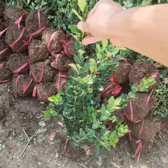 沭阳卫矛批发价格 卫矛种植基地