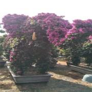 福建三角梅价格 三角梅种植基地