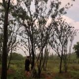 丛生黄连木 40公分黄连木最新价格 黄连木基地批发 黄连木图片