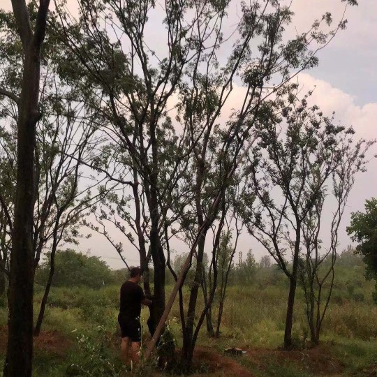 叢生黃連木 40公分黃連木最新價格 黃連木基地批發 黃連木圖片