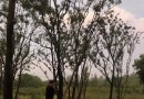 朴树价格 江苏朴树基地