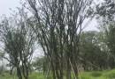 丛生朴树价格 福建丛生朴树基地直销