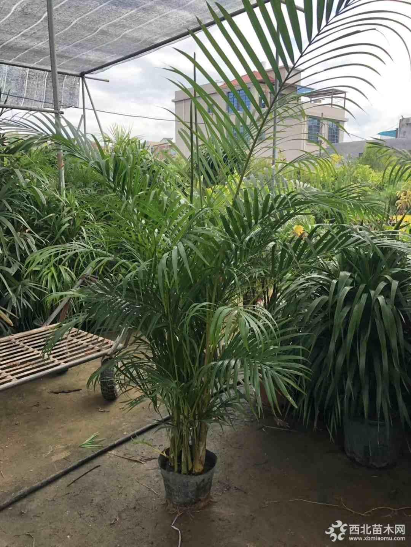 1.5米高散尾葵价格  福建散尾葵批发价