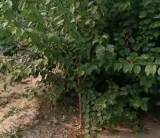 河北山杏树苗批发多少钱一棵