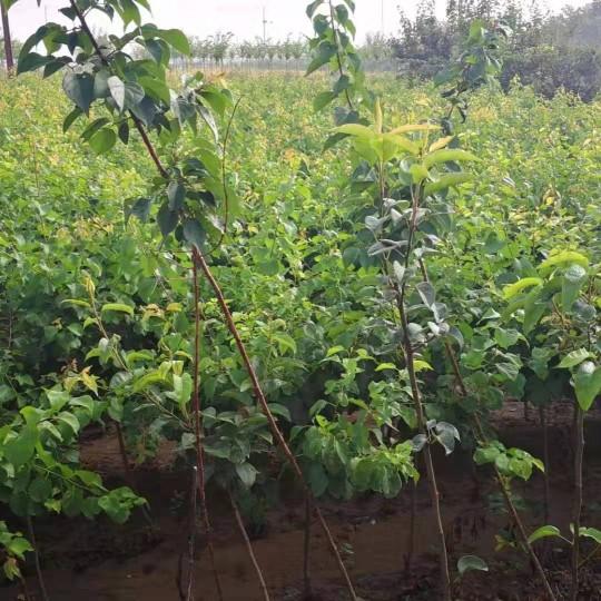 1公分杏树苗批发价  杏树苗多少钱一棵
