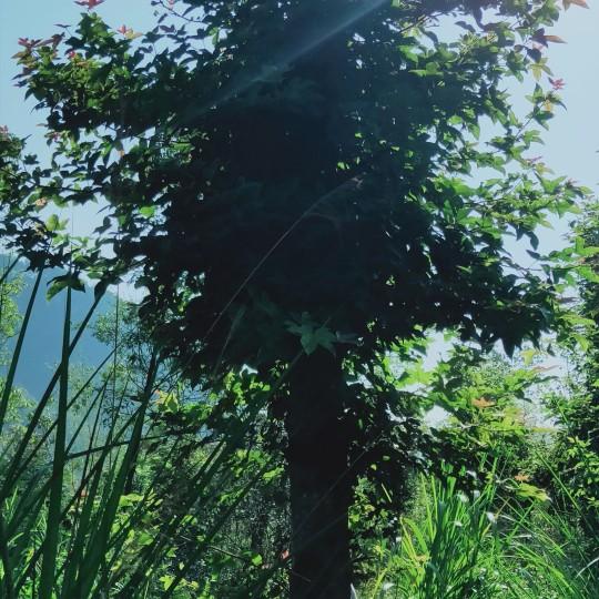 楓香基地 江西楓香 12公分楓香樹價格