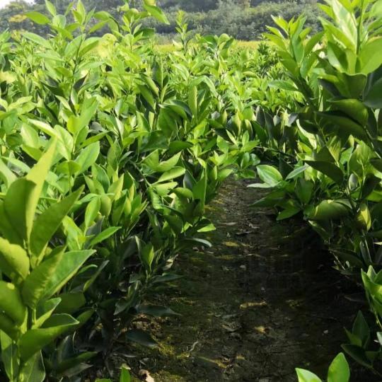 30公分高紐荷爾臍橙苗價格 紐荷爾臍橙苗培育基地