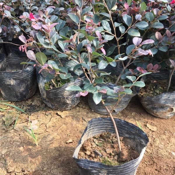 红花继木基地直销 红花继木特点