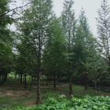 成都水杉10公分 15公分成都水杉报价格低农户直销便宜树形好