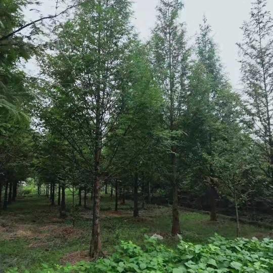 成都水杉10公分 15公分成都水杉報價格低農戶直銷便宜樹形好