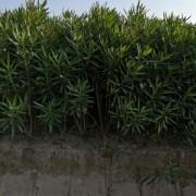 1.2米夹竹桃怎么卖 江苏哪里有卖夹竹桃