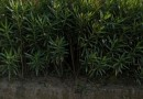 高度250公分红枫价格 红枫基地批发
