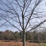 18公分榉树价格 榉树小苗