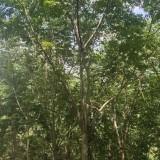 15公分黄山栾树价格 黄山栾树图片