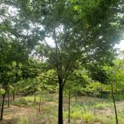 10公分榉树多少钱一棵