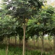 8公分黄山栾树价格 黄山栾树销售基地
