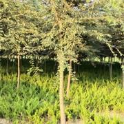 15公分榉树价格 榉树直销基地