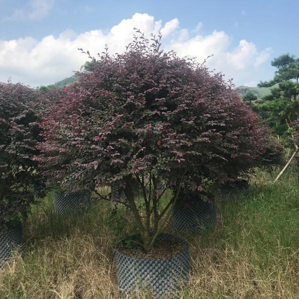 精品大红花继木球80-200公分容器苗