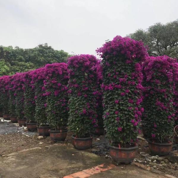 福建柱形三角梅,紫花柱形三角梅,红花柱形三角梅