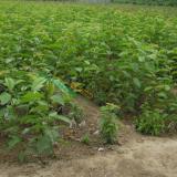 地径1公分黑珍珠樱桃苗  黑珍珠樱桃苗市场行情