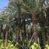 产地直销福建银海枣杆高3-7米,棕榈树中东海枣容器苗