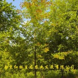 3公分娜塔栎价格 娜塔栎多少钱一棵
