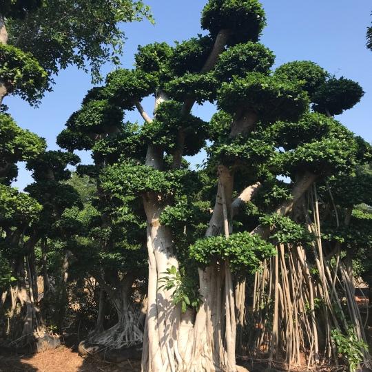 景观造型大榕树,盆景榕高2~5米