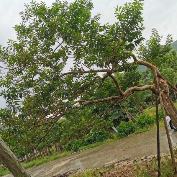 移植景观异形斜飘红果冬青树,精品红果冬青树10-25公分