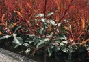 萧山2.7米红叶石楠柱子