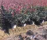 哪里买红叶石楠大桶苗 3年生红叶石楠基地批发