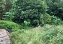 萧山120公分大叶黄杨柱子