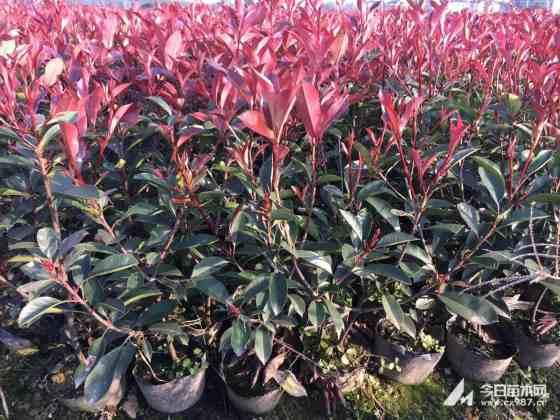 红叶石楠大杯苗价格 50-80公分红叶石楠小苗