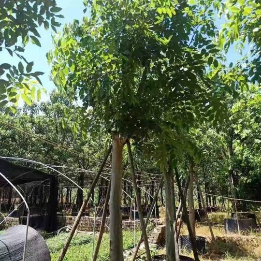 15公分腊肠树价格 福建腊肠树基地直销