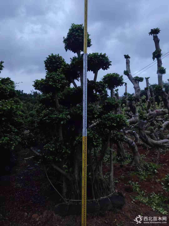 2.2米造型小叶榕行情 造型小叶榕基地报价