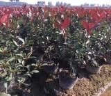 红叶石楠大桶苗多少钱一棵 浙江金华红叶石楠基地