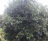全冠移植果树,丛生单杆水蒲桃容器苗,精品果树移植苗水蒲桃