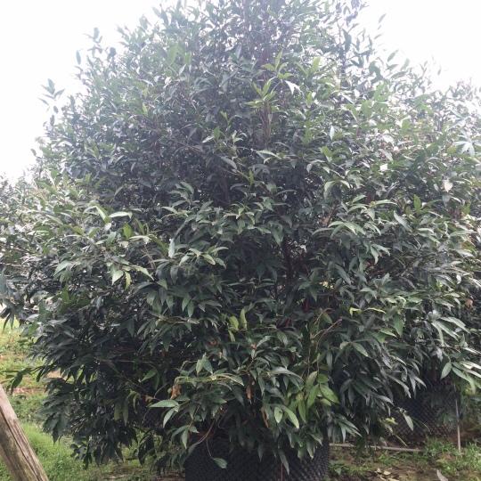 全冠移植果樹,叢生單桿水蒲桃容器苗,精品果樹移植苗水蒲桃