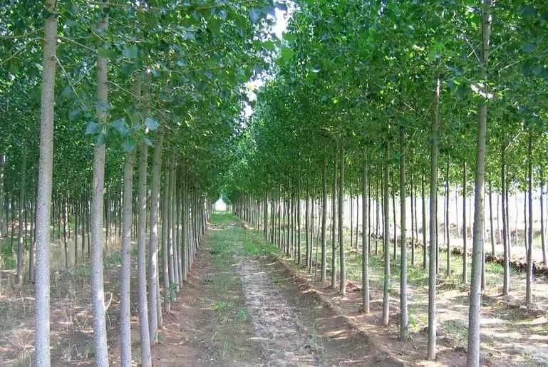 杨树多少钱一棵 2019年最新杨树价格