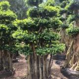 250公分造型小叶榕价格 福建造型小叶榕多少钱一棵