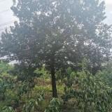 20公分樸樹價格 樸樹哪里賣